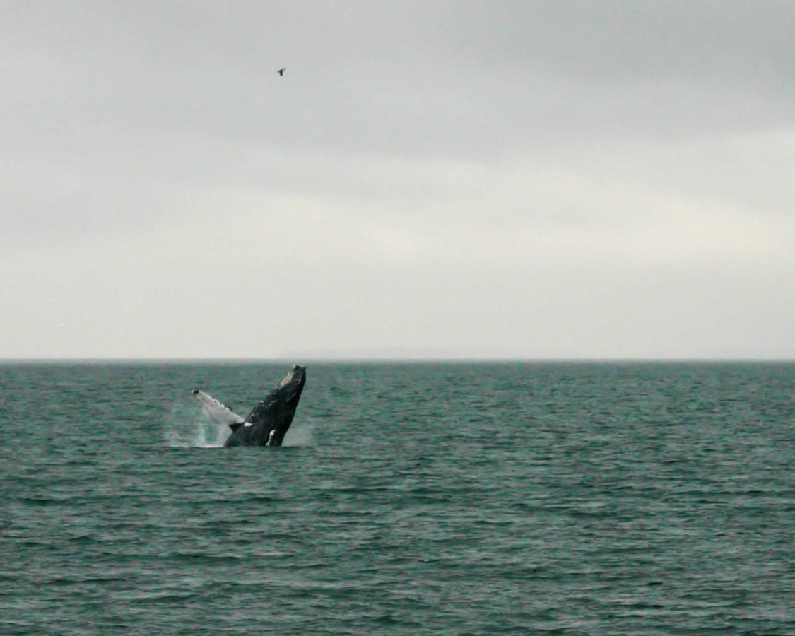 Humpback whale breaching in Stephan's Passage near Juneau.