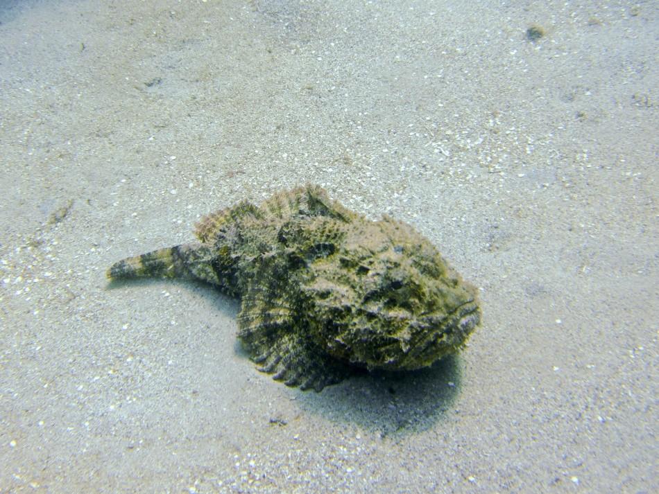 Scorpion Fish in Grenada