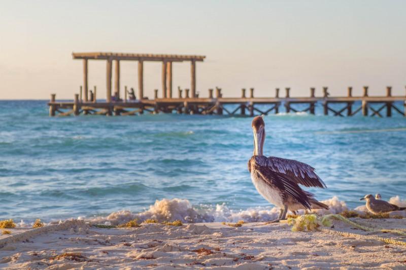 Playa del Carmen - Pelican