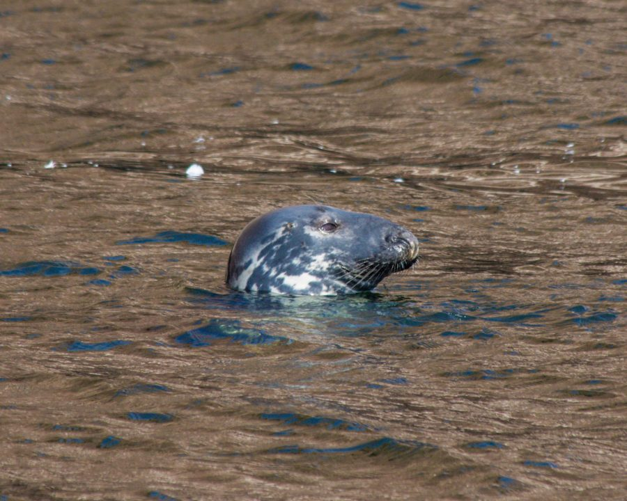 Head Of A Grey Seal Poking Out From The Waters Of The Abandoned Houses Can  Be
