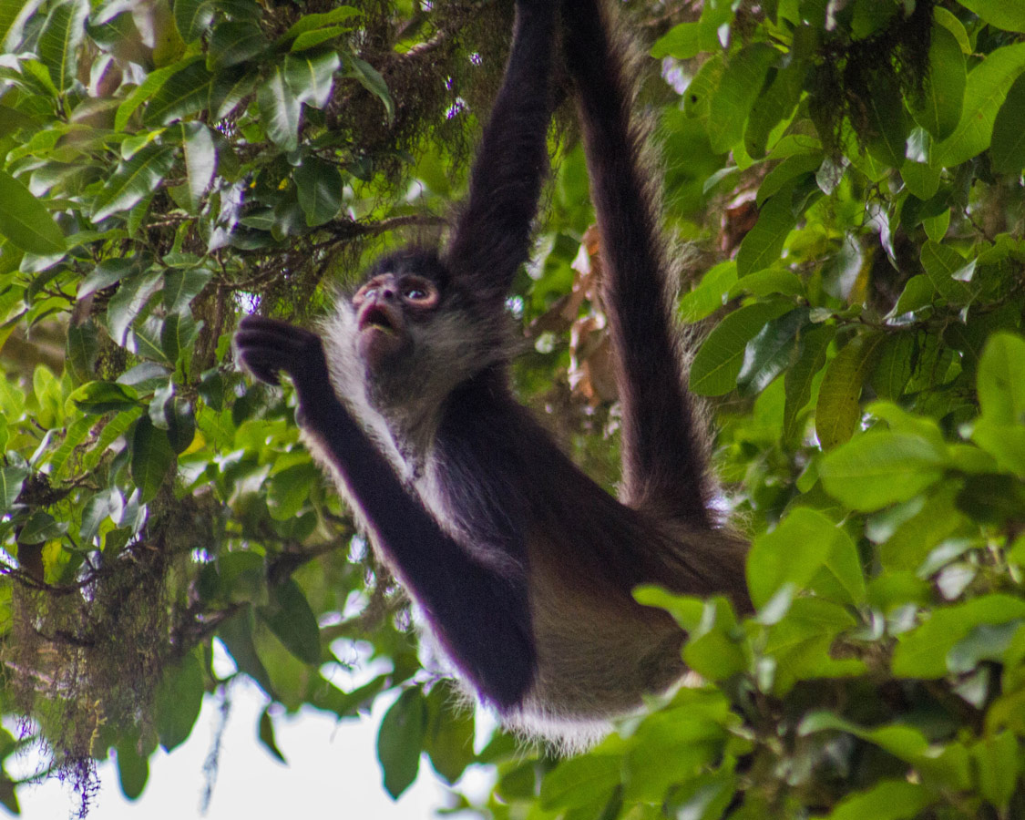 A spider monkey swings through the trees in Tikal