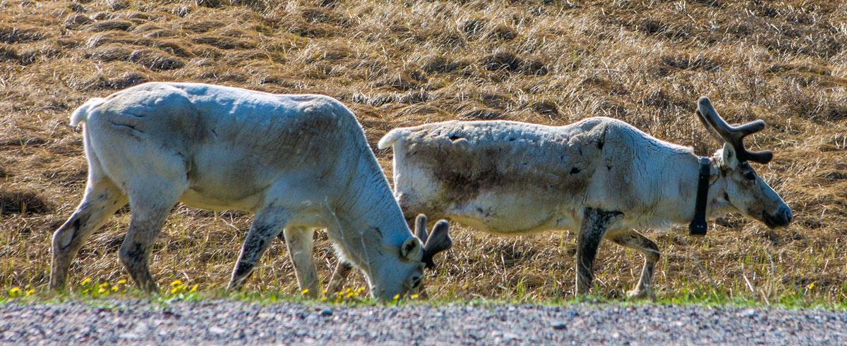 Two caribou graze on the side of the road in Gros Morne National Park, Newfoundland
