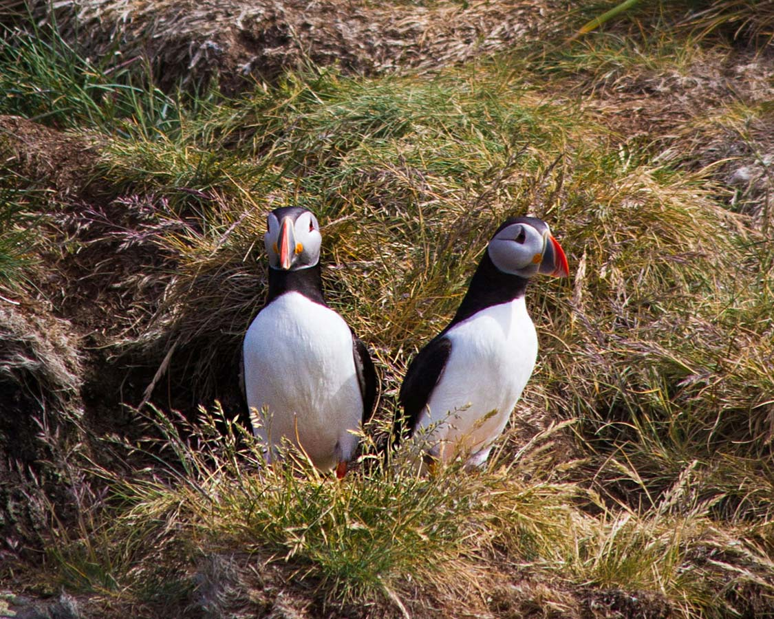 The best place to see puffins in Iceland