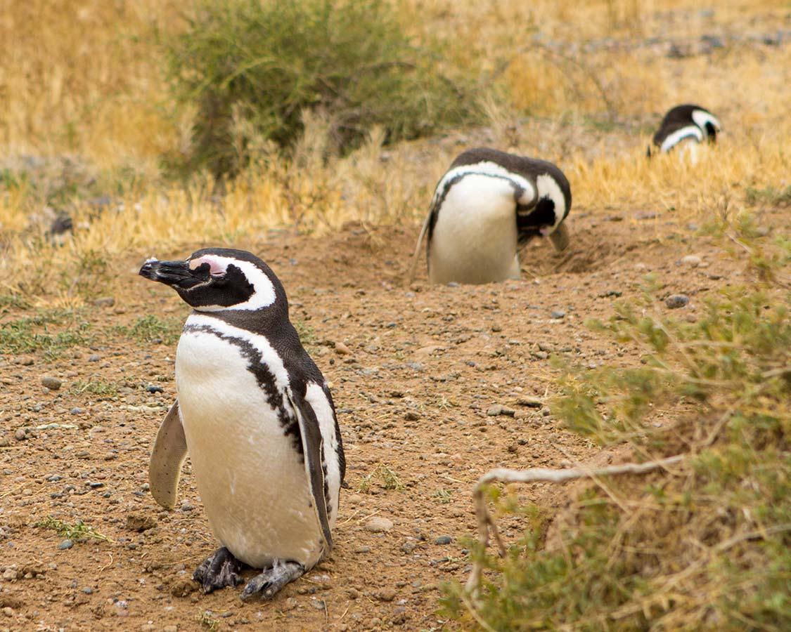 Solitary penguin walking around Peninsula Valdes.