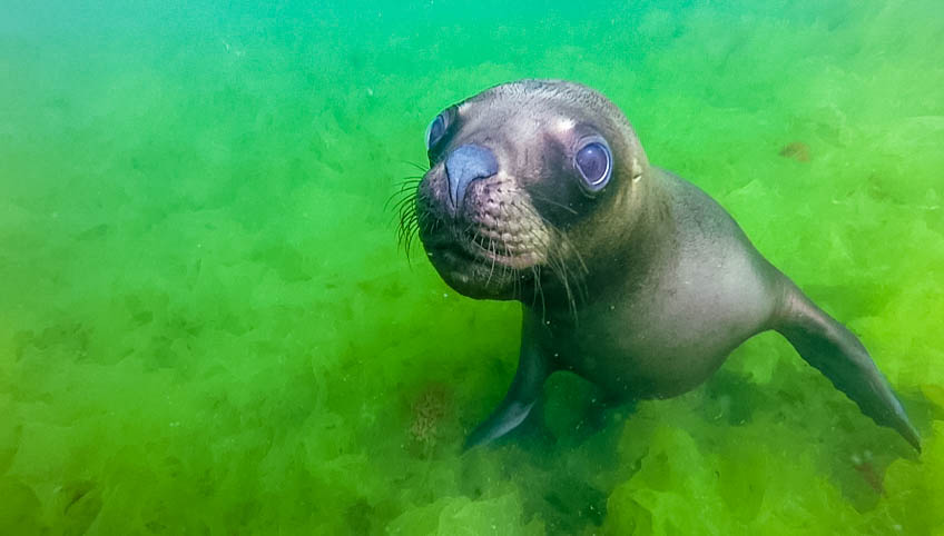 Close up of sea lion in the water.