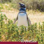 Penguins in Punta Tombo Argentina Pinterest