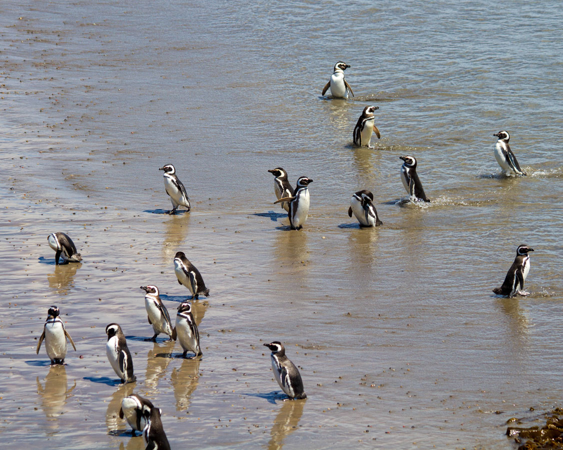 Penguins play in the water at the Punta Tombo penguin conservation area in Argentina
