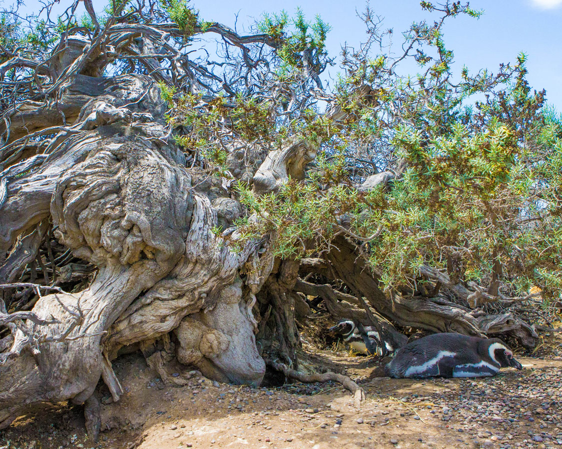 Penguins lie in the shade among the roots of gnarled trees in Punta Tombo Argentina