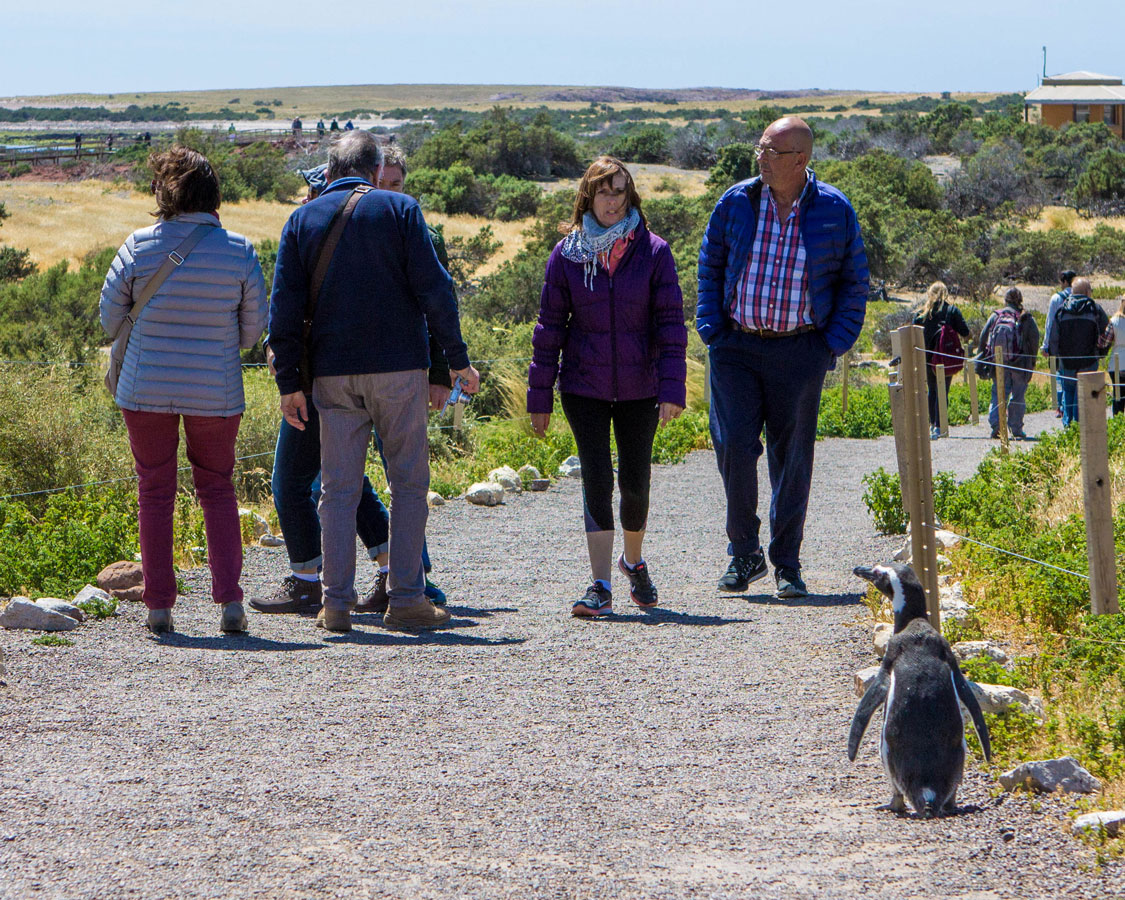 A penguin walks among visitors at the Punta Tombo conservation area