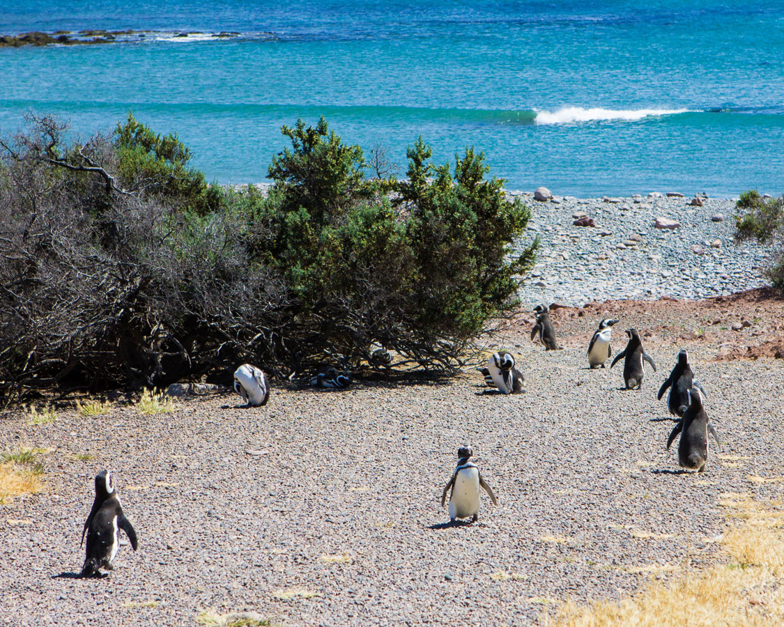 Penguins walk to and from the beach at the penguin conservation area in Punta Tombo Argentina