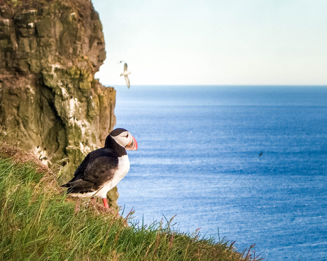 A Puffin stares out from the Latrabjarg cliffs in Iceland