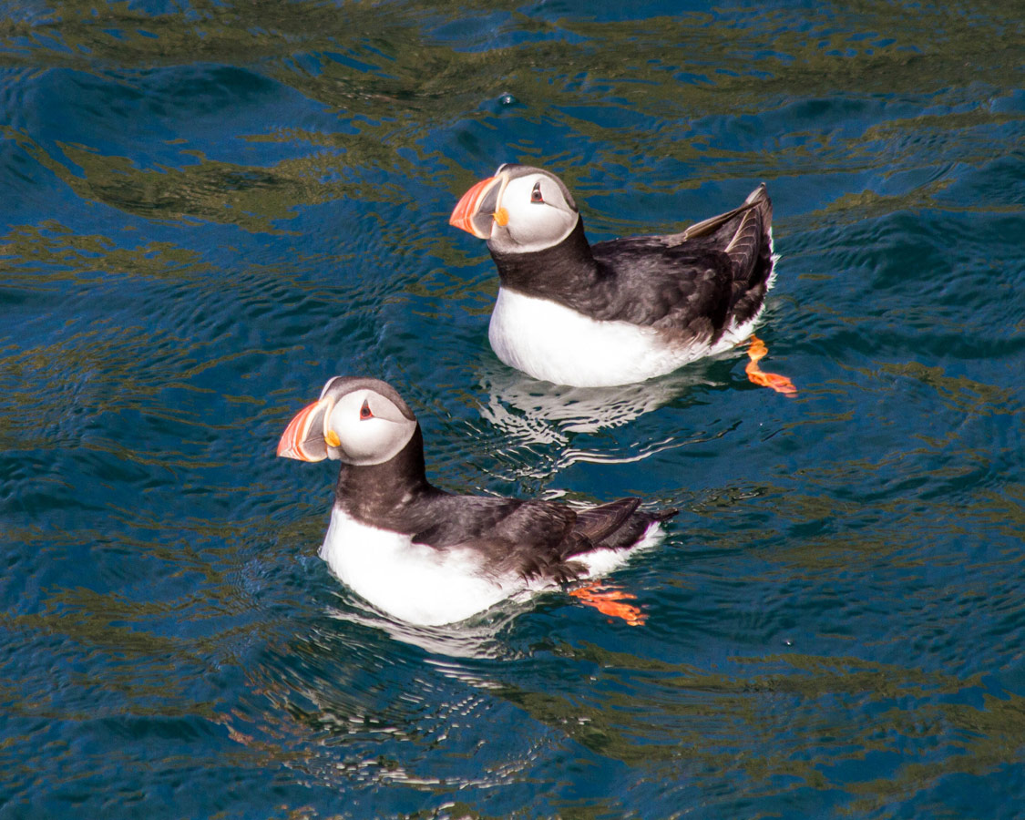 Iceland Puffins in the water