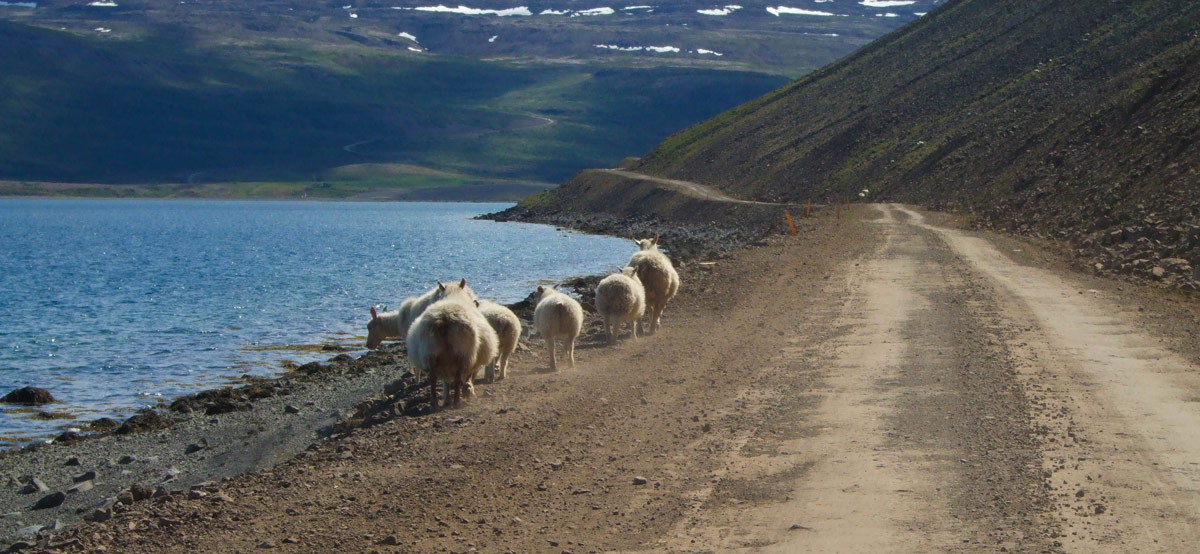 Sheep walking along the edge of a dirt road in Iceland's Westfjords