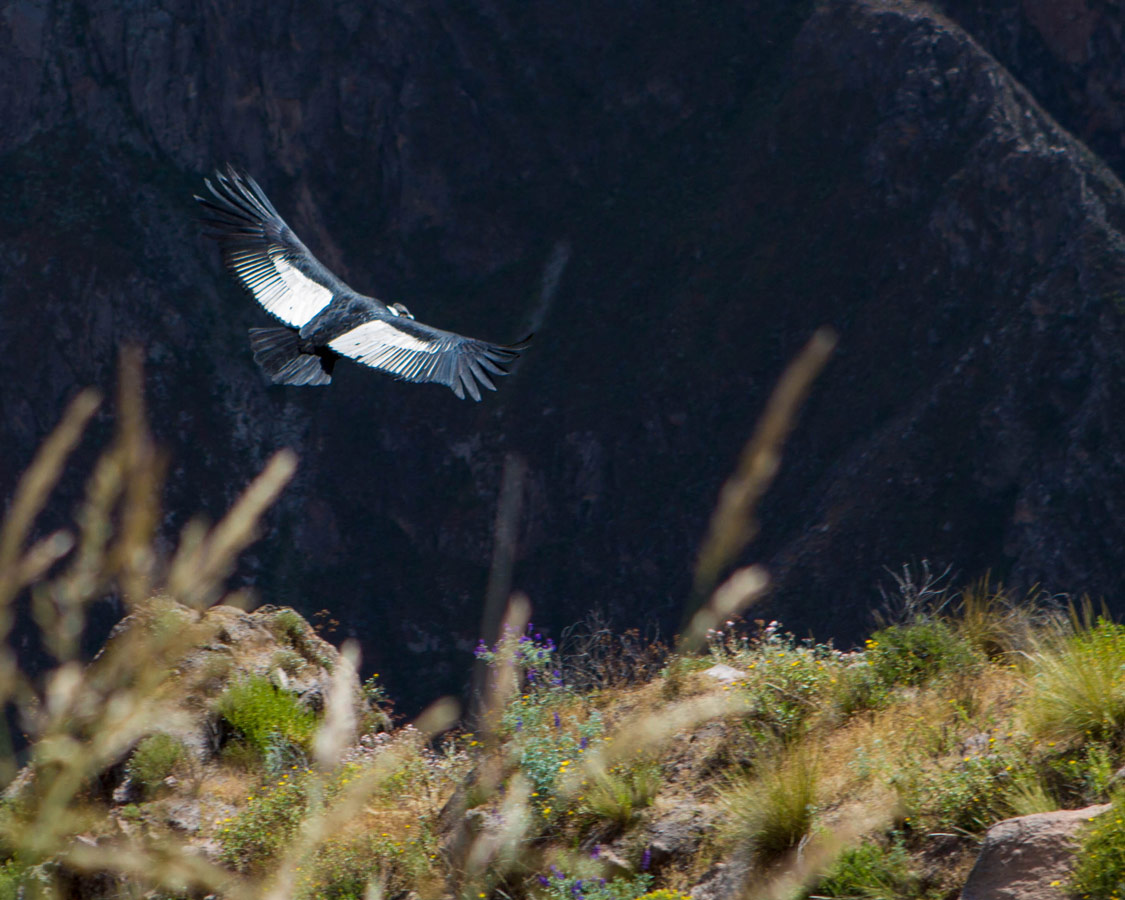 An Andean Condor flies below the rim in Colca Canyon with kids