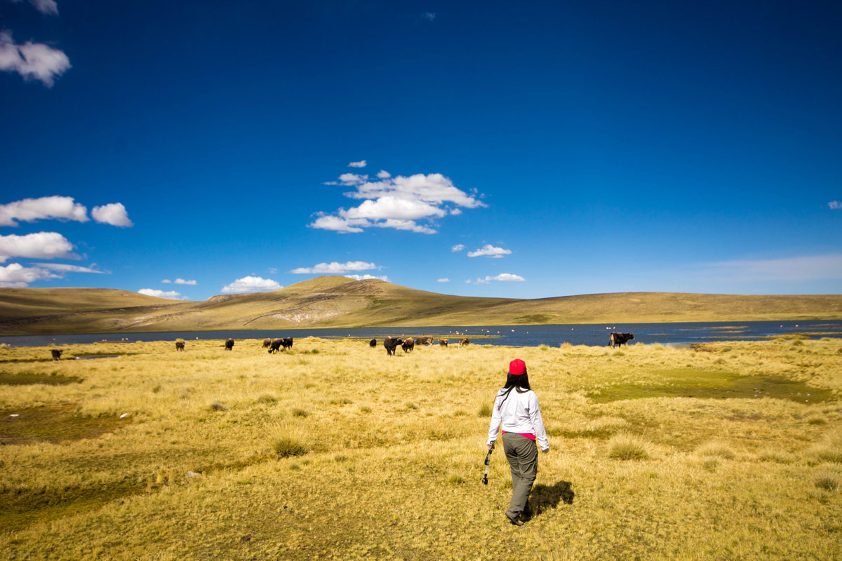 Christina Wagar walks through a field full of cows in the Peruvian Andes on her way to see the Andean Condors in Colca Canyon with kids