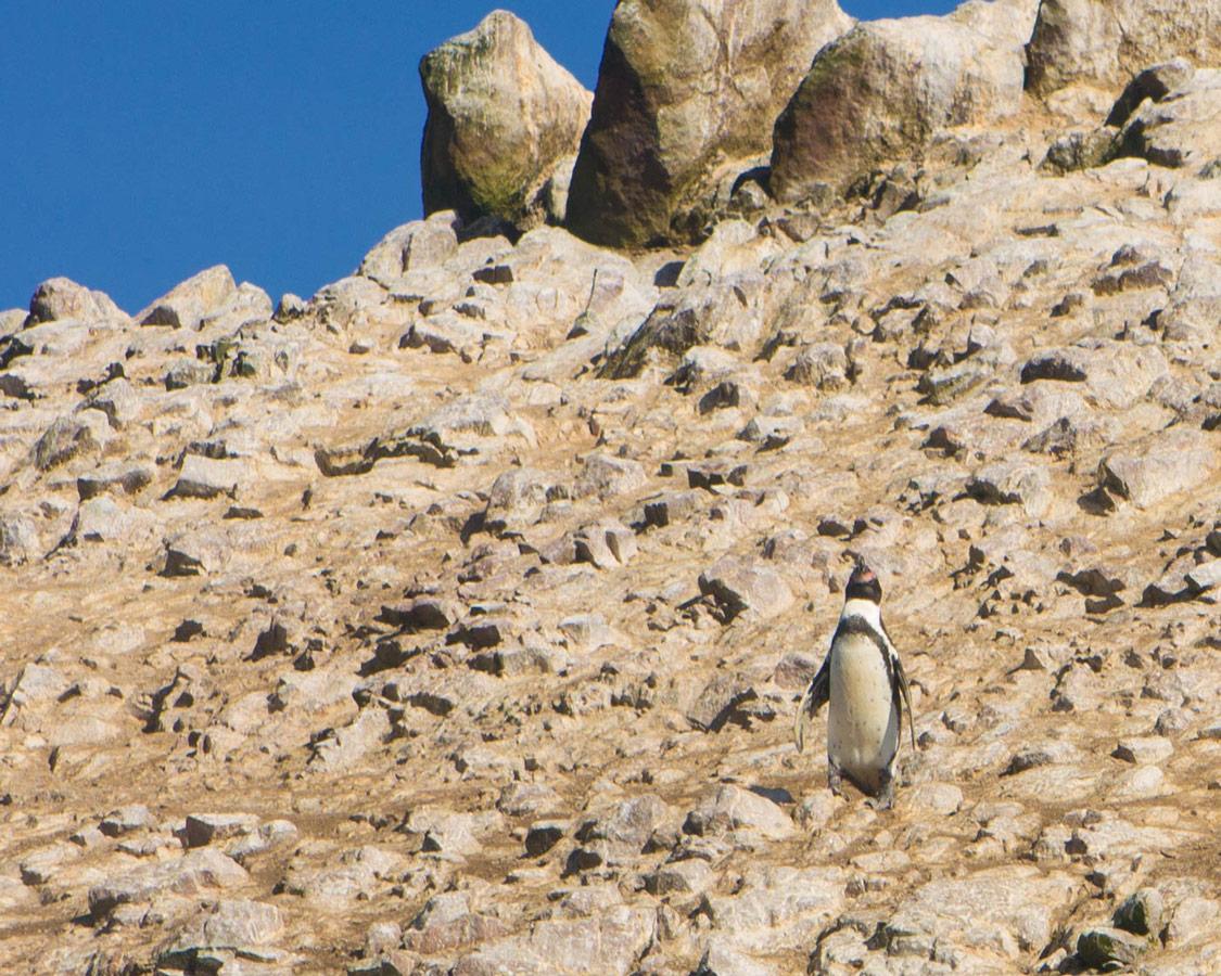 A Humboldt penguin basks in the sun at the Paracas Nature Reserve near Paracas Peru