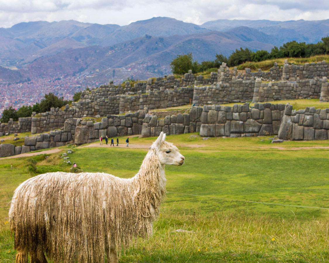 A hairy llama stands on the grass in front of the ruins of Sacsaywaman. one of the most famous things to see in Cusco Peru