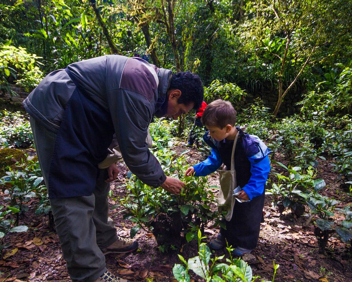 Picking tea leaves at InkaTerra Hotel in Machu Picchu Pueblo Peru with kids on a 14 day Peru itinerary
