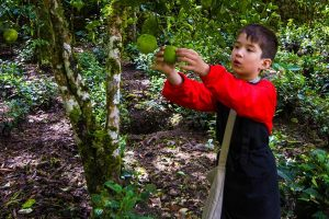 About Us Child traveler C Wagar harvesting limes in Machu Picchu Peru