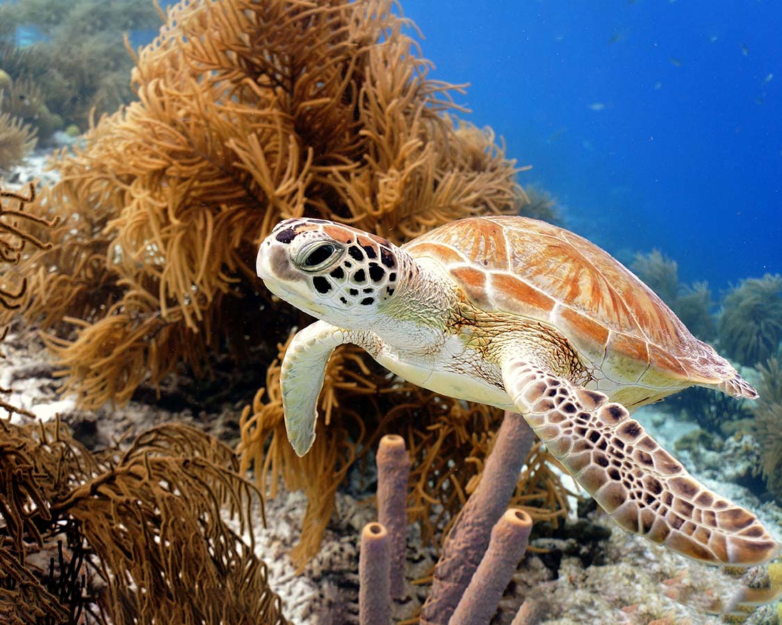 Family dive vacations sea turtle in Bonaire