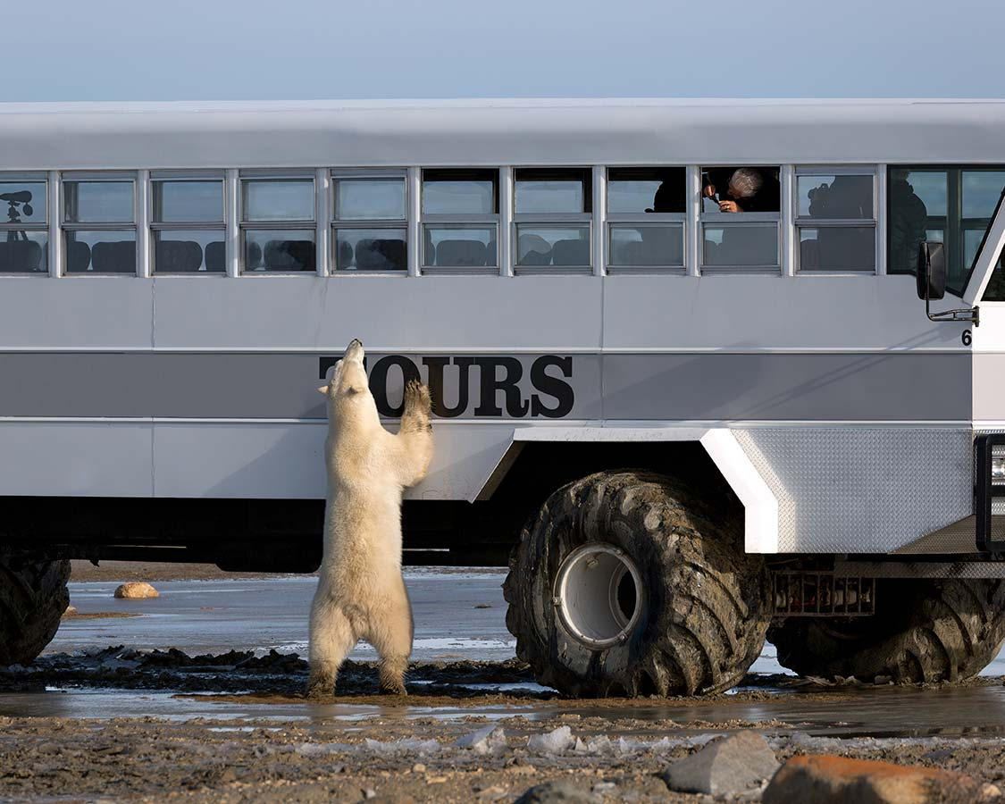child-friendly-wildlife-experiences-Polar-Bears-in-Churchill-Manitoba