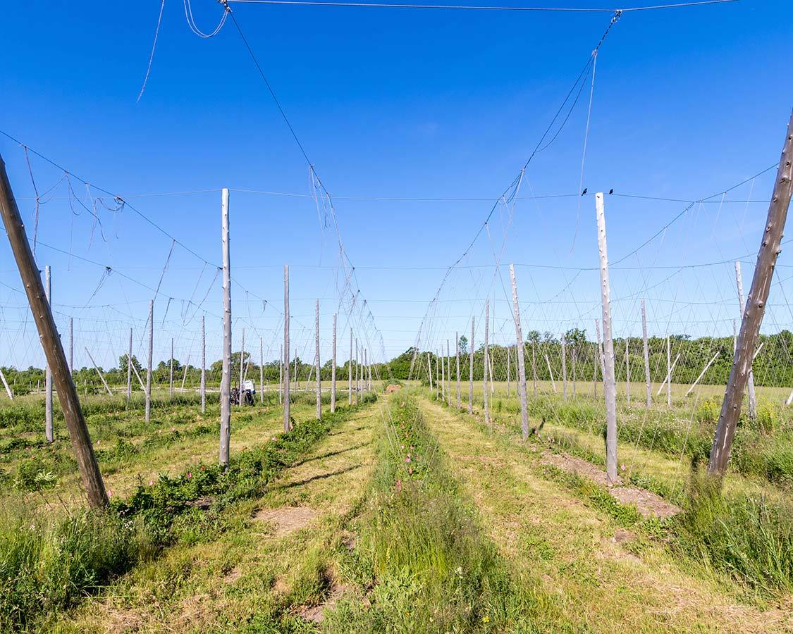 Hop Farm along the Millenium Trail in Prince Edward County What To do