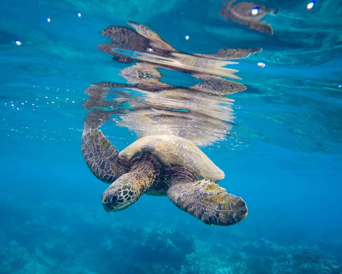 Snorkeling with turtles in Maui itinerary