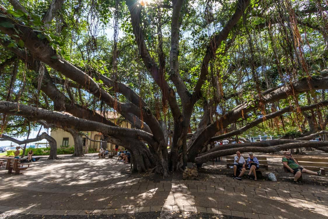 Lahaina town Banyan Tree Hawaii