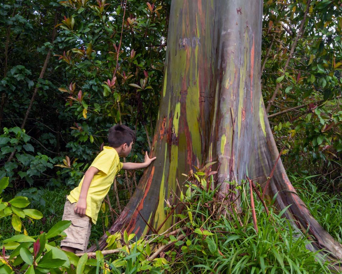 Rainbow Eucalyptus on the best road to hana stops