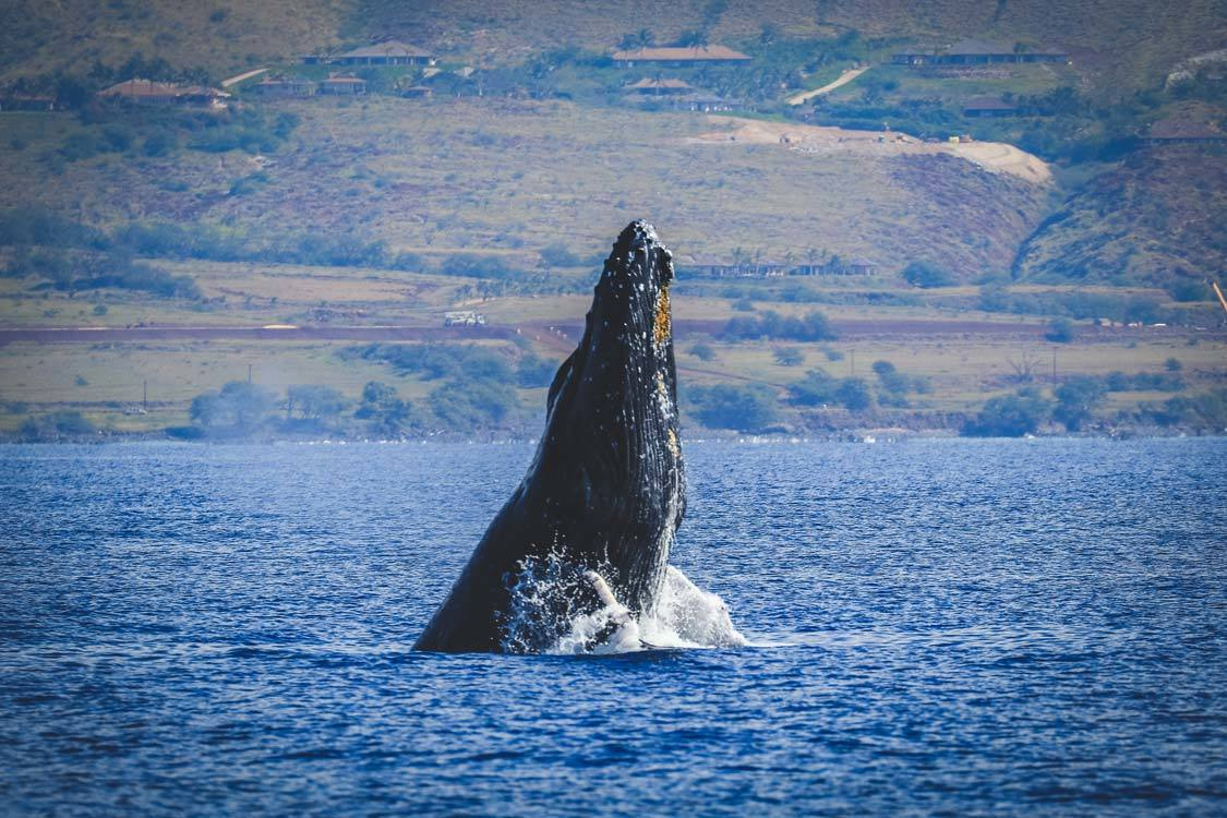 Whale Watching with kids on Maui