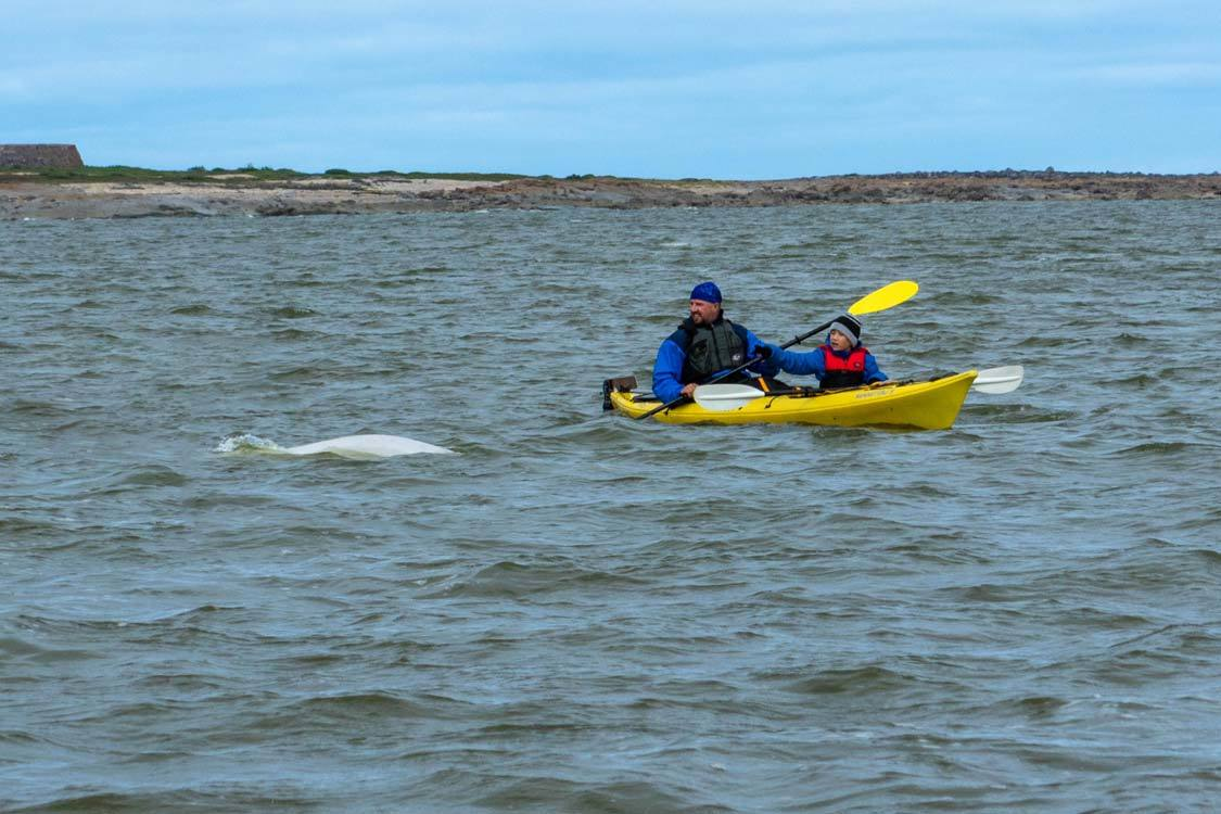 Churchill Manitoba Guide Sea Kayaking with Beluga Whales