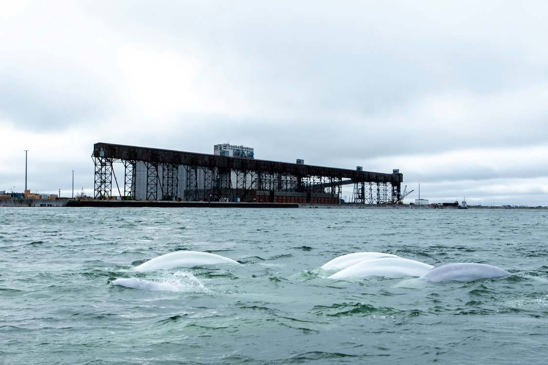 Zodiac Beluga Whale Tour Churchill Manitoba Guide