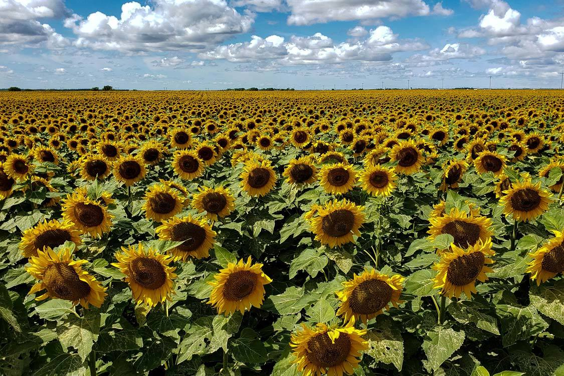 Manitoba Sunflower Fields