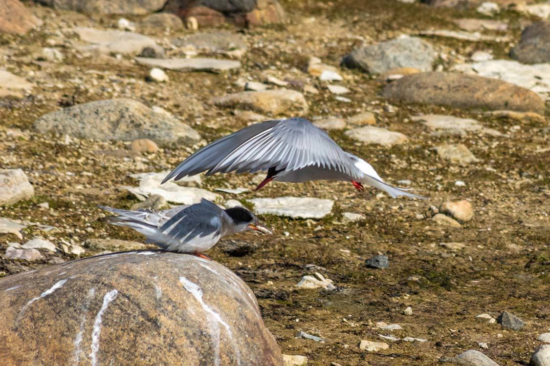 Arctic Tern Feeding In Mid Flight In Churchill Manitoba