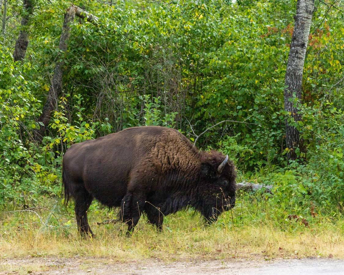 What to do in Manitoba Riding Mountain National Park Bison