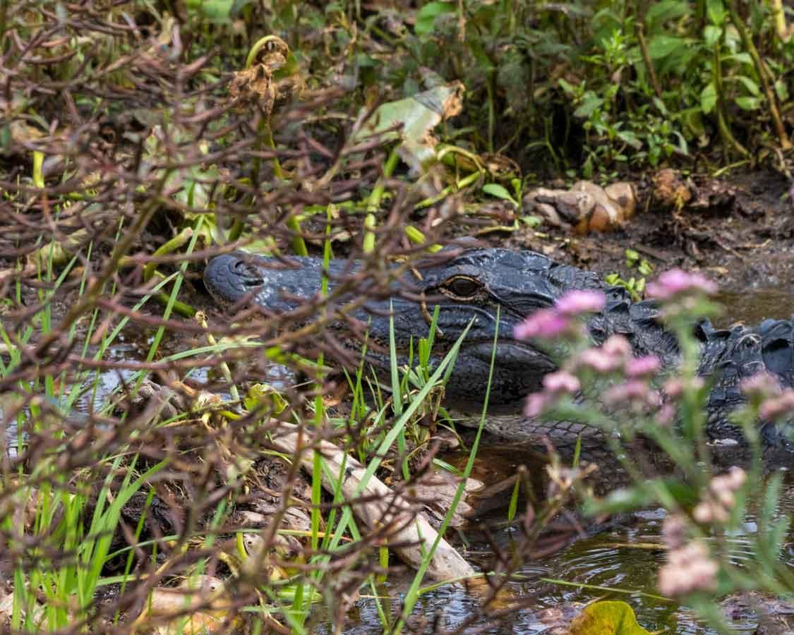 Florida Everglades Alligator Tours