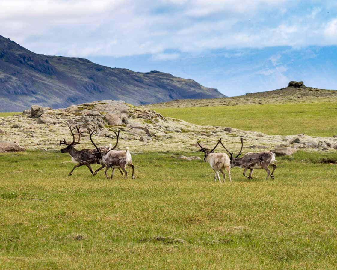 Caribou Migration in Yukon Canada