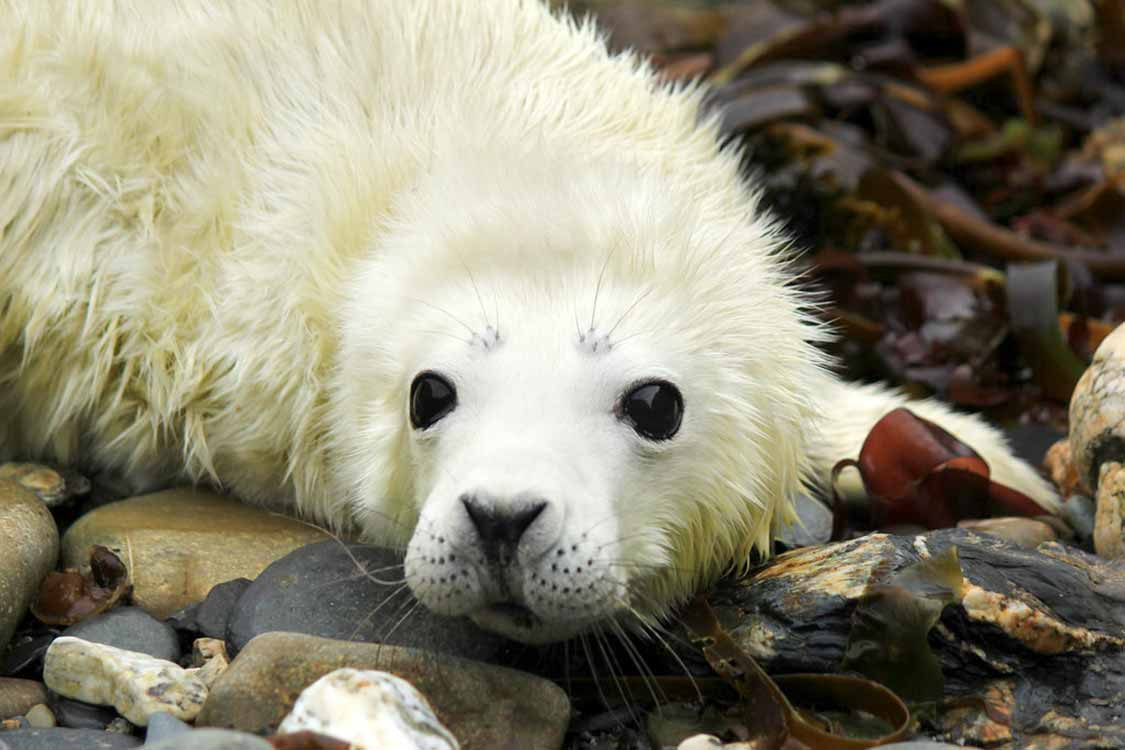 Harp Seal Pup On Ile de la Madeleine Quebec