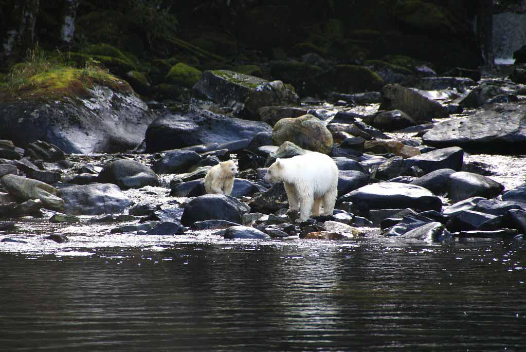Spirit Bears in British Columbia