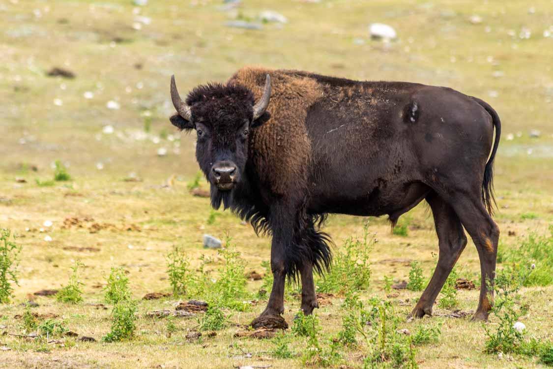 Bison in Riding Mountain Manitoba