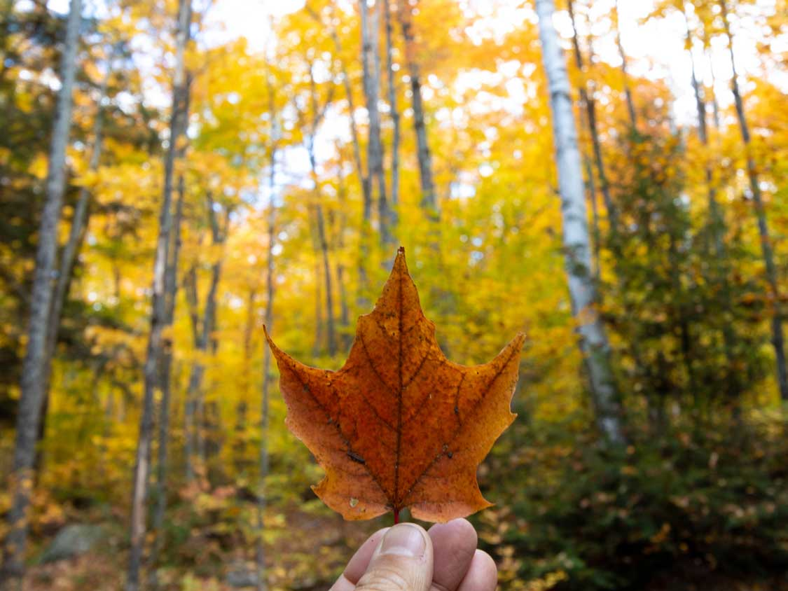 Maple leaf against the autumn colours in Algonquin Park
