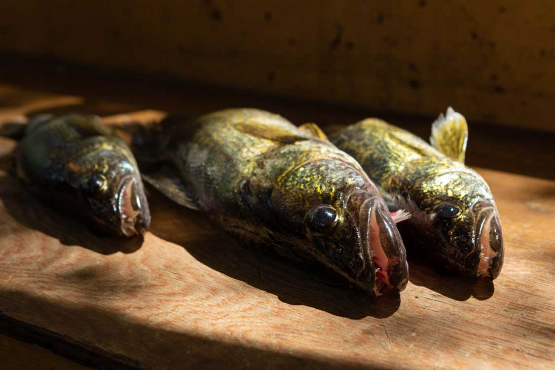 Walleye Fishing in Kenora Ontario
